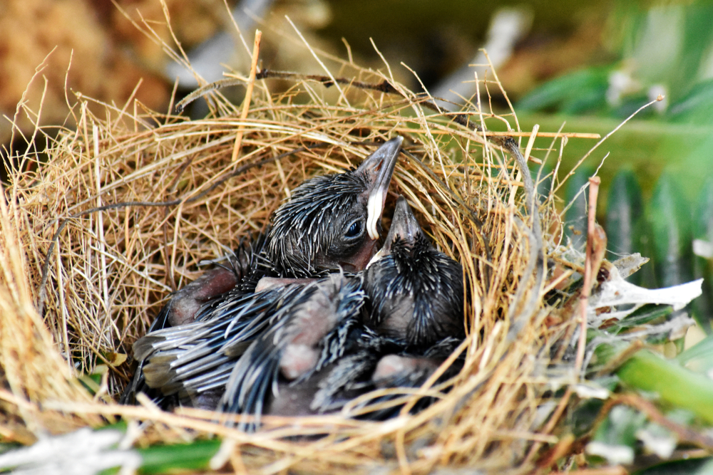 black birds in a nest