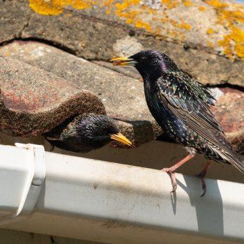 Birds in Gutters